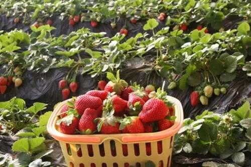 摘草莓+作文_梦见摘红色的草莓吃_关于龙泉的大棚摘奶油草莓的作文