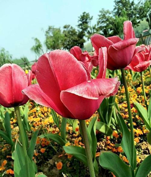 如意黄后花开花照片_花开花落的瞬间作文_天堂鸟花什么时候开花