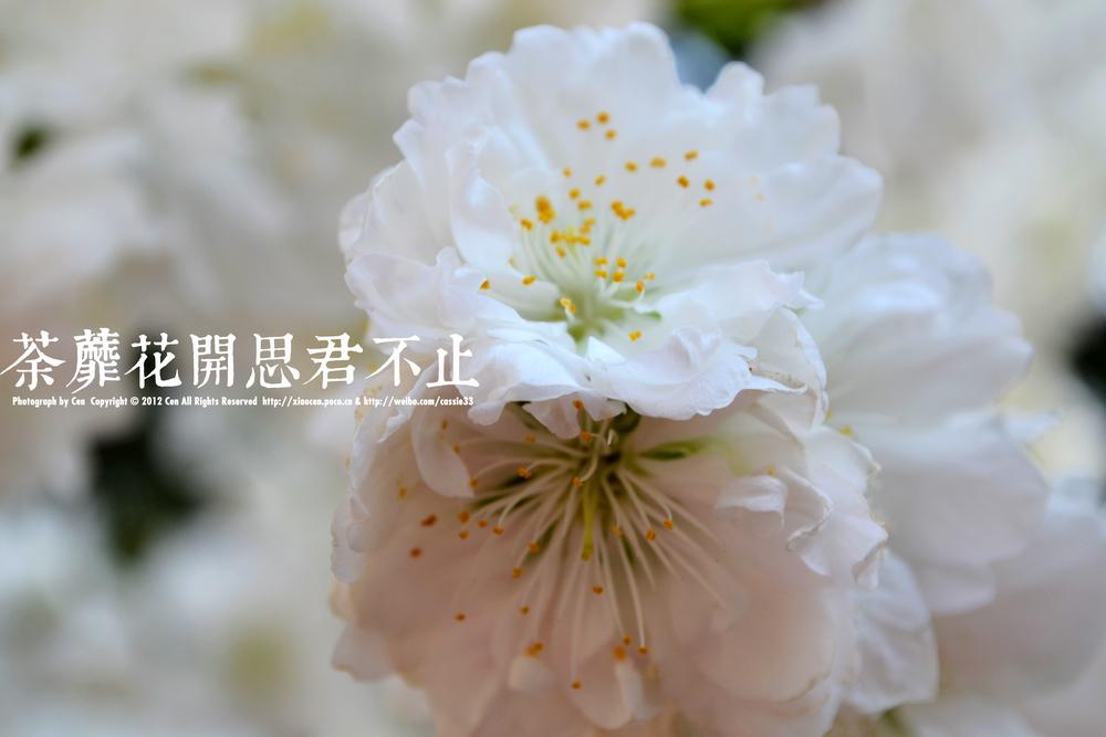 彼岸花开花不见叶叶不见花_日轮花什么时候开花_人生花开花落作文