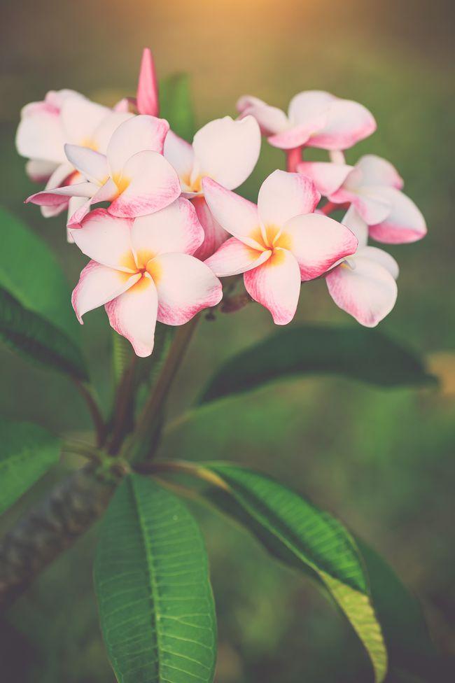 如意黄后花开花照片_为什么仙丹花不开花_人生花开花落作文